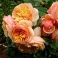 Рози за колекционери