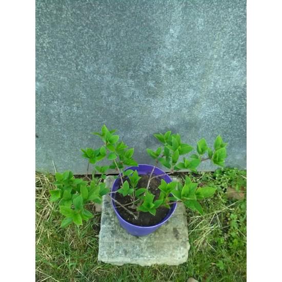Hydrangea paniculata Wim's Red