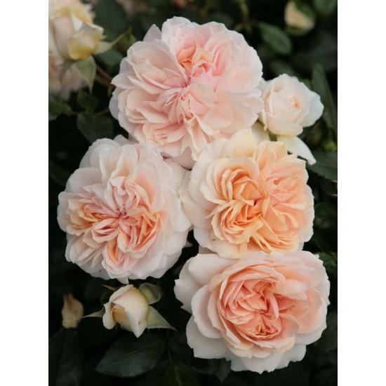 Garden of Roses /Cream Flower Circus - налични