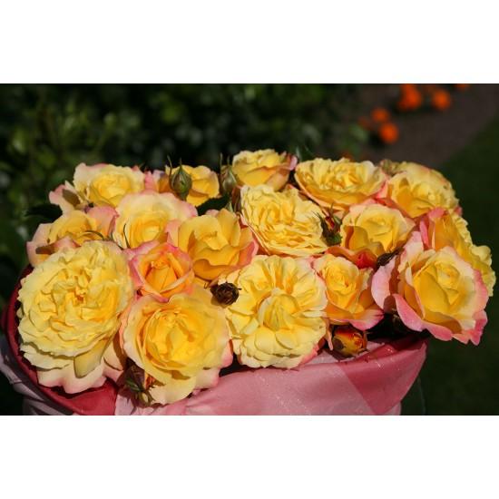 Rose der Hoffnung