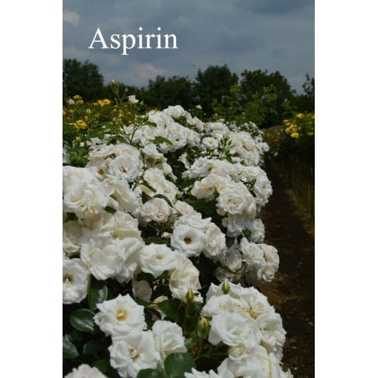 щамба Aspirin - налични