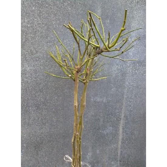 Щамба Fuchsia Meillandecor