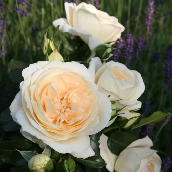 Marie Antoinette - налични